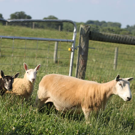 Sheep at Clarks Farm